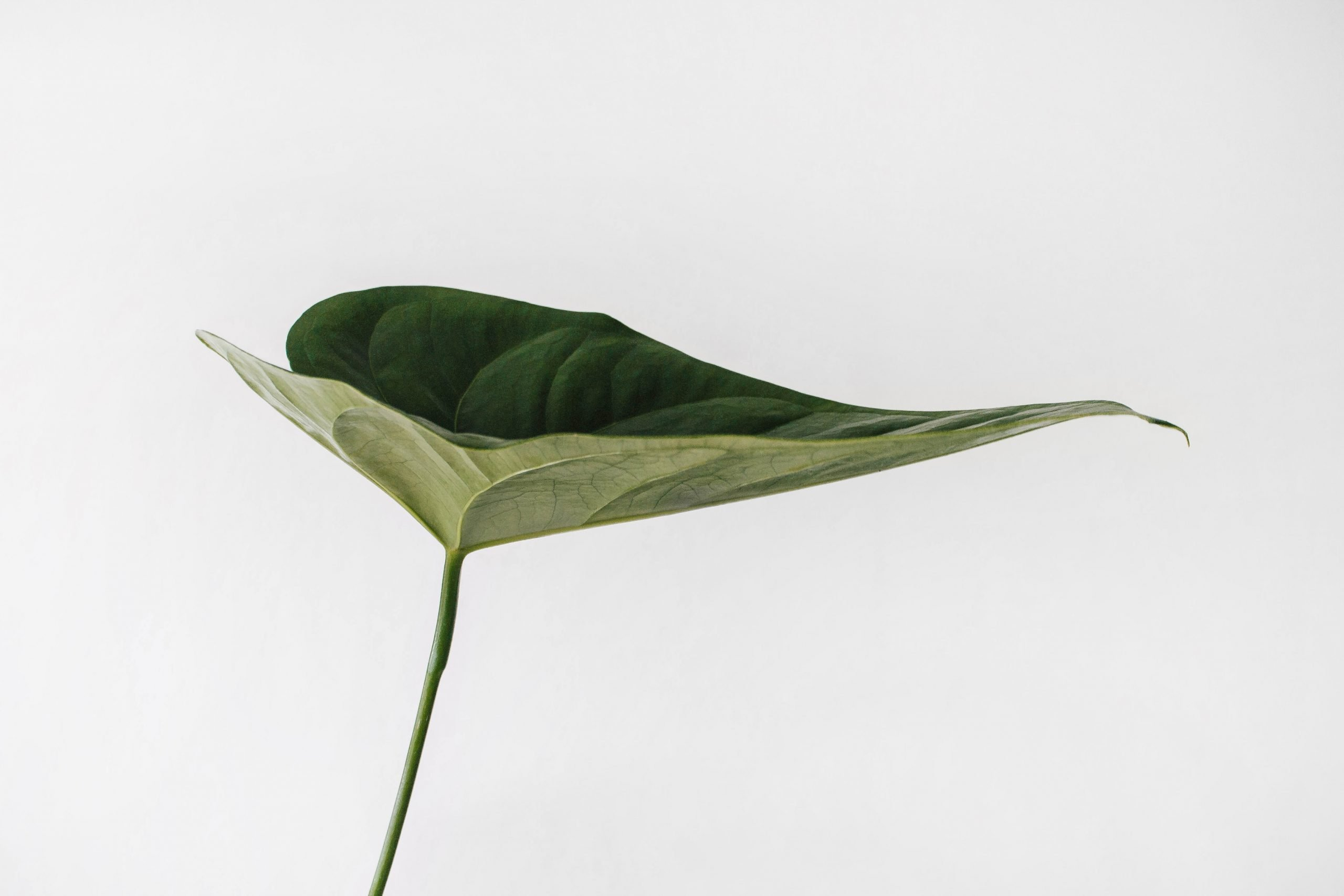 One green plant on a white background.