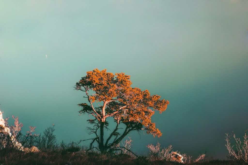 A red tree overlooking water.